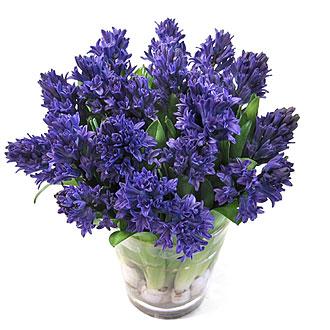 http://hyacinth.byus.net/img/Hyacinth-20-blue.jpg?title=Hyacinth-20-blue